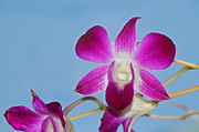 Karen Adams Posters - Orchids with Blue Sky Poster by Karen Adams