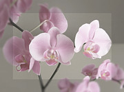 Angela Wile - Orchids with Border
