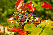 Grape Leaf Originals - Oregon Grape Root by Graham Foulkes