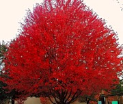 Oregon Red Maple Beauty Print by Kim Petitt
