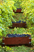 Pinot Noir Photos - Organic Grape Harvest by Kevin Miller