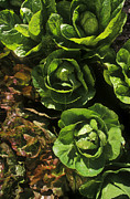 Agronomy Framed Prints - Organic Lettuce Framed Print by Craig Lovell