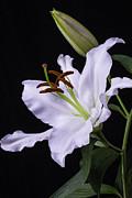 Garry Gay - Oriental Lily