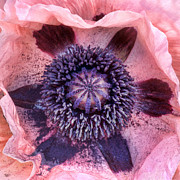 Papaver Orientale Prints - Oriental Poppy Print by Nikolyn McDonald