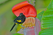 Oriole Originals - Oriole in Banana Flower by Alan Lenk