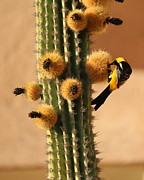 Oriole Digital Art Posters - Oriole on Saguaro Cactus Poster by Linda Hardin