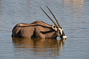 Gemsbok (oryx Gazella) Photos - Orix or Gemsbok drinking water by Grobler Du Preez