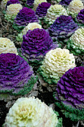 Violet Framed Prints - Ornamental Cabbage Framed Print by Amy Cicconi