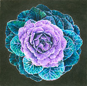 Ornamental Drawings - Ornamental Cabbage by Mandy Robertson