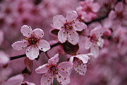 April Showers Posters - Ornamental Cherry Tree - Blossoms Poster by Jani Freimann