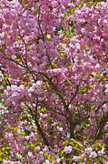 Cherry Blossoms Photos - Ornamental Cherry Tree by Sharon  Talson