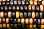 Thanksgiving Art Photos - Ornamental Corn by Anne Gilbert