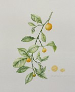 Lime Painting Framed Prints - Ornamental Orange  Framed Print by Iona Hordern
