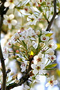 Kay Novy Posters - Ornamental Pear Blooms Poster by Kay Novy