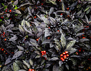 Allen Sheffield - Ornamental Pepper