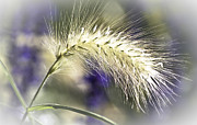 Violet Photos - Ornamental Sweet Grass by Heiko Koehrer-Wagner