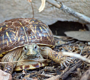 Long-lived Photos - Ornate Box Turtle by BJ Halsey