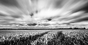Cornfield Photos - Ornfields In The Wind by Ian Hufton