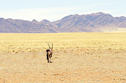 Gemsbok (oryx Gazella) Photos - Oryx in a desert landscape by Ignatius Tan