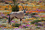 Gemsbok (oryx Gazella) Framed Prints - Oryx in flower carpet Framed Print by Grobler Du Preez