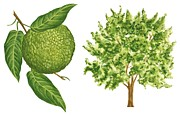 Fruit Drawings Posters - Osage orange tree Poster by Anonymous