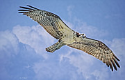 Clouds Deborah Benoit Framed Prints - Osprey 91711 Framed Print by Deborah Benoit