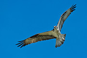Dalrymple Prints - Osprey 9501 Print by Paul Reeves