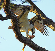 Larry Nieland - Osprey Afternoon snack