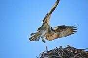 Amazing Jules - Osprey