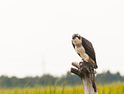 Sea Platform Prints - Osprey at Rest Print by J H Clery