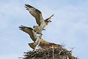 Andrea Kollo - Osprey Battle for the Nest