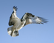 Barbara Smith Posters - Osprey Carrying Twig Poster by Barbara Smith