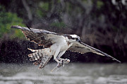 Dan Friend - Osprey catching fish