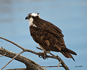 500mm Prints - Osprey Close-Up Print by Stephen  Johnson
