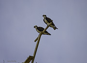 Laura Bentley - Osprey Couple in Calgary
