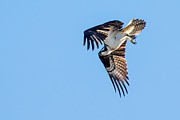 Fishers Posters - Osprey Diving Poster by Robert Bales