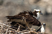 Nature Study Photo Prints - Osprey Family Huddle Print by John Daly