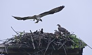 Roger Lewis Metal Prints - Osprey feeding her young Metal Print by Roger Lewis