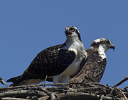 Birds - Osprey Fledglings DRB052 by Gerry Gantt