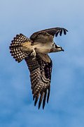 Fishers Posters - Osprey Flying Away Poster by Robert Bales