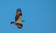 Osprey Flying Home With Dinner Print by Robert Bales