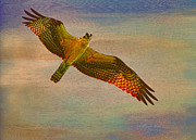 Osprey Florida Framed Prints - Osprey Glare Framed Print by Deborah Benoit