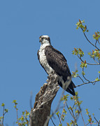 Gerry Gantt - Osprey Guarding the Nest...