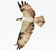 Thomas Photography  Thomas - Osprey in Flight
