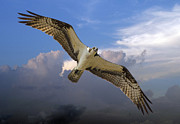 TJ Baccari - Osprey in Flight