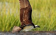 Thomas Photography  Thomas - Osprey in the Marsh
