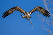 Osprey Tapestries Textiles - Osprey Inbound by Bryce Bradford