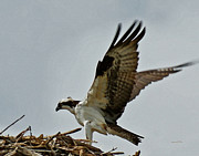 Large Birds Framed Prints - Osprey Landing 2 Framed Print by Ernie Echols