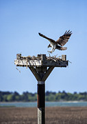 Fish Eating Birds Framed Prints - Osprey Landing Framed Print by John Greim
