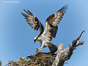 Osprey Mating Print by Barbara Bowen